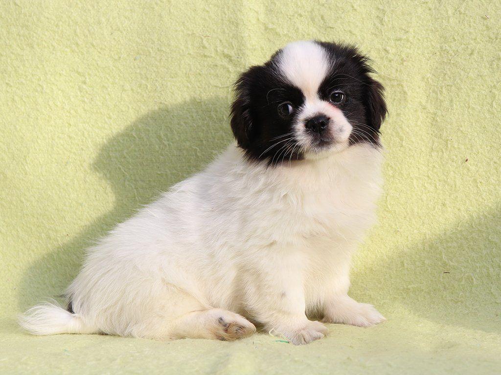 Iron Tibetan Spaniel Puppy For Sale In 2020 Spaniel Puppies Spaniel Puppies For Sale Tibetan Spaniel
