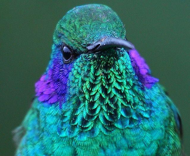 Violet Eared Hummingbird by jrothdog, via Flickr