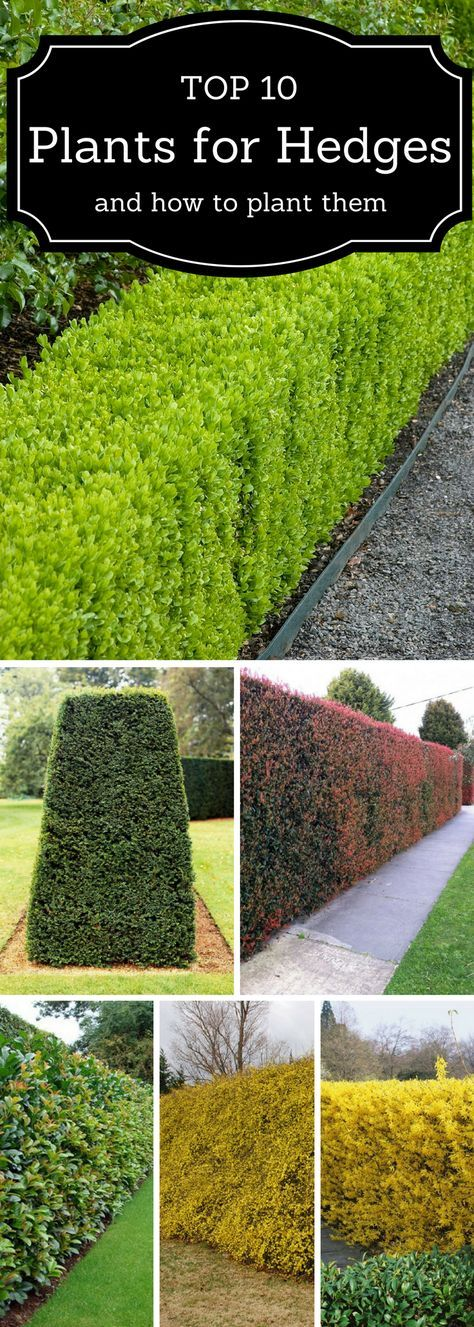 Top 10 Best Plants For Hedges And How To Plant Them Garden Hedges Lawn And Garden Backyard Landscaping Designs