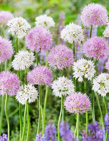 Fluffy Dreams Allium Blend Spring Bulbs Garden Flower Pot Design Allium Flowers