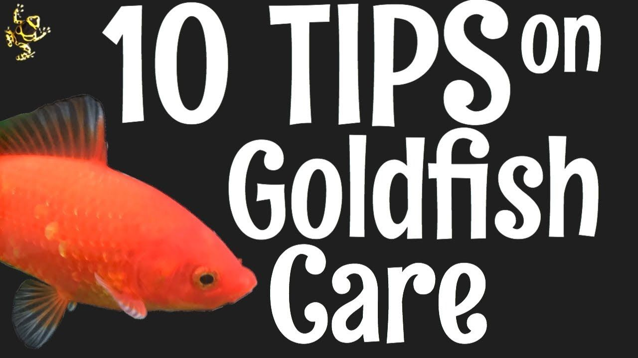 Goldfish care 10 things you should know goldfish care