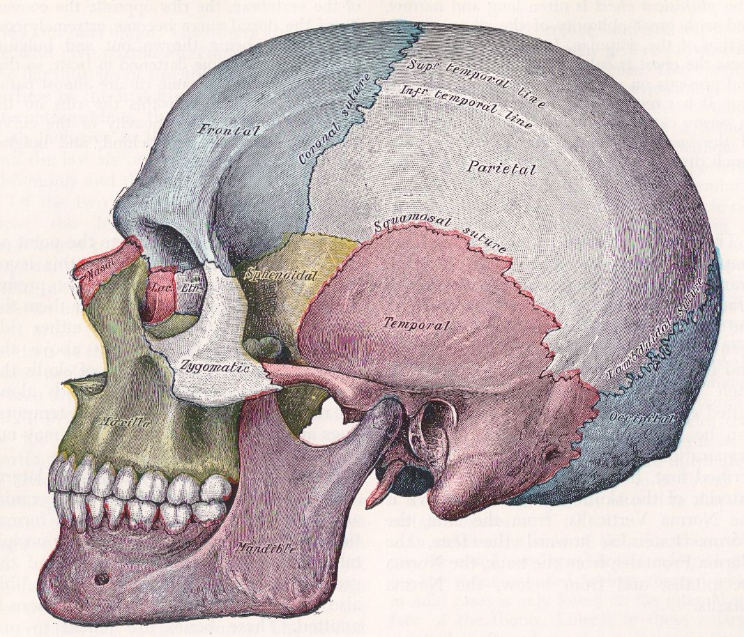 Image depicting the bone of the skull and it\'s sutures. Image taken ...