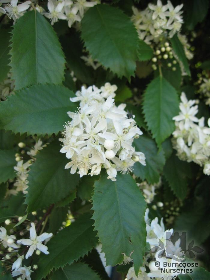 Hoheria Populnea Plants Edible Plants Small Gardens