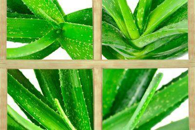 Aloe Vera Erkennen Echte Aloe Aloe Vera Aloe Pflanze