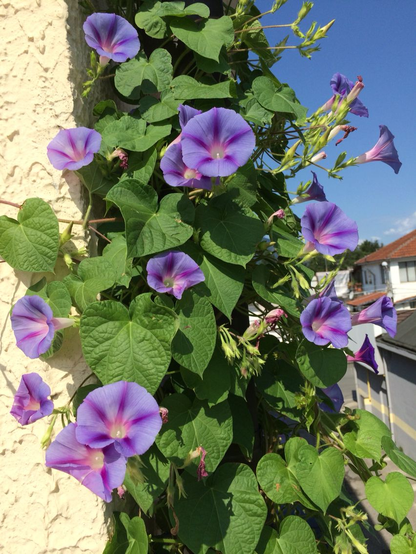 Morning Glories For More Blossoms Dont Fertilize Fertilizer Produces More Foliage And Less Blossoms Morning Glory Flowers Garden Vines Flowering Vines