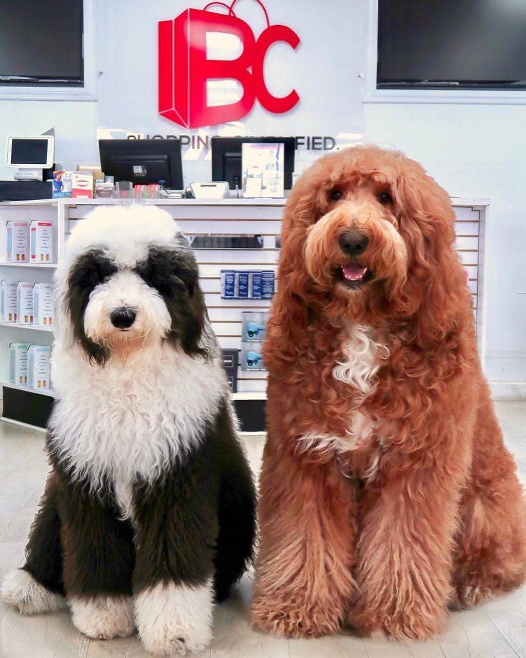 Portrait Des Arbeitsfreudigen Hundes Hunde Rassen Hunde