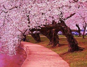Sanjay Ramchandran Google Japanese Cherry Tree Blossom Trees Cherry Blossom Tree