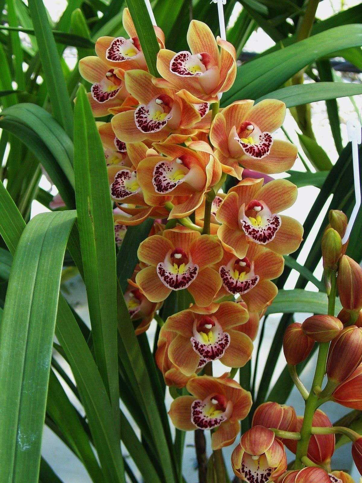 cymbidium orchid orange gem orchideen pinterest. Black Bedroom Furniture Sets. Home Design Ideas