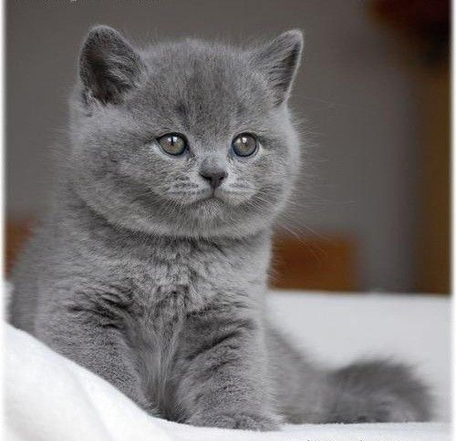Afbeelding Britse Korthaar Google Search British Shorthair
