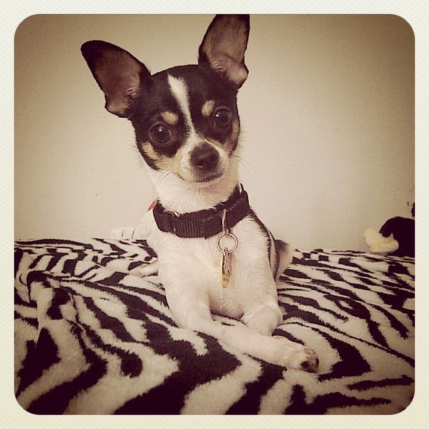 Black And White And Cute All Over Rat Terrier Rat Terrier Art