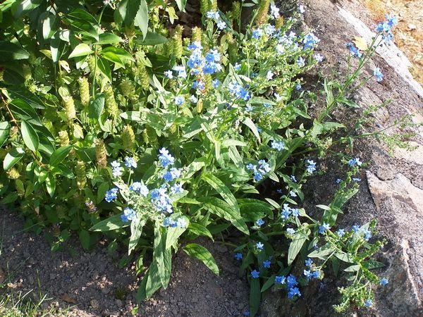 http://www.jardinsdugue.eu/wp-content/uploads/Cynoglossum-amabile-Firmament.jpg
