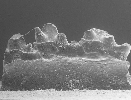 Als allereerste ( oudste ) fossiele voorouder van alle zoogdieren wordt tegenwoordig de fragmentaire kaak met tandjes van de Ambondro mahabo beschouwd  //  a  Malabo ME37c     field museum