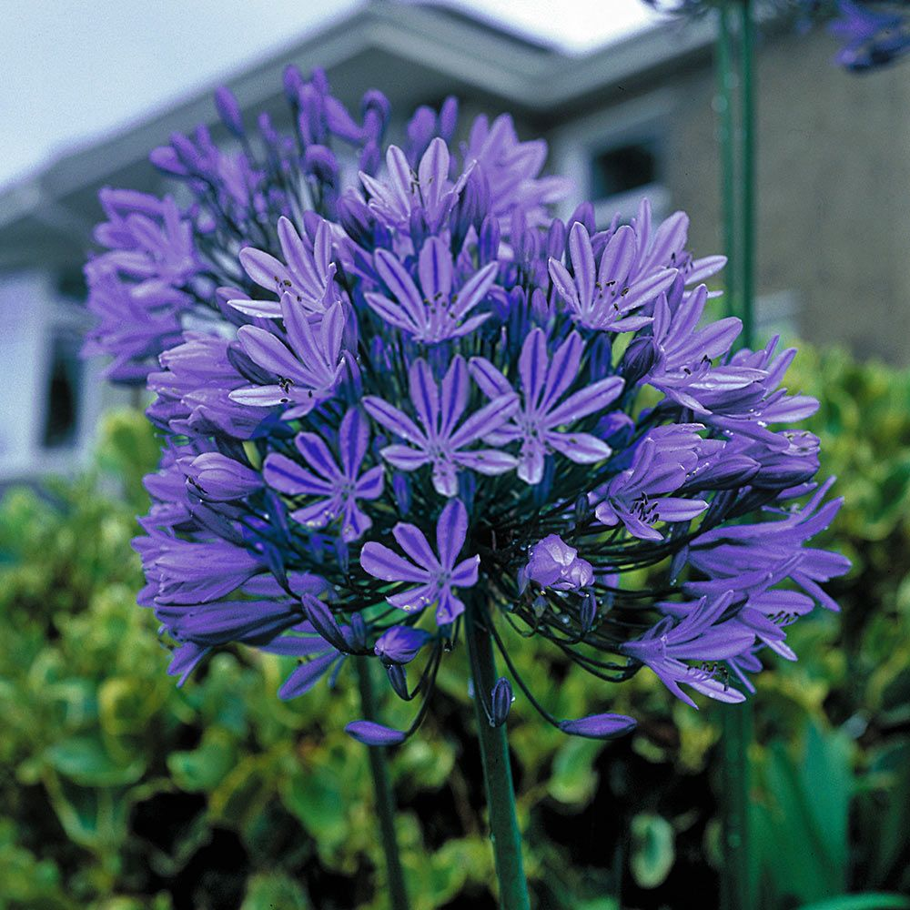 Agapanthus Blue Peter Beautiful Large Flowered Heads Of Intense Deep Blue Free Flowering Can Be Left In The Ground B Agapanthus Blue Agapanthus Blue Peter