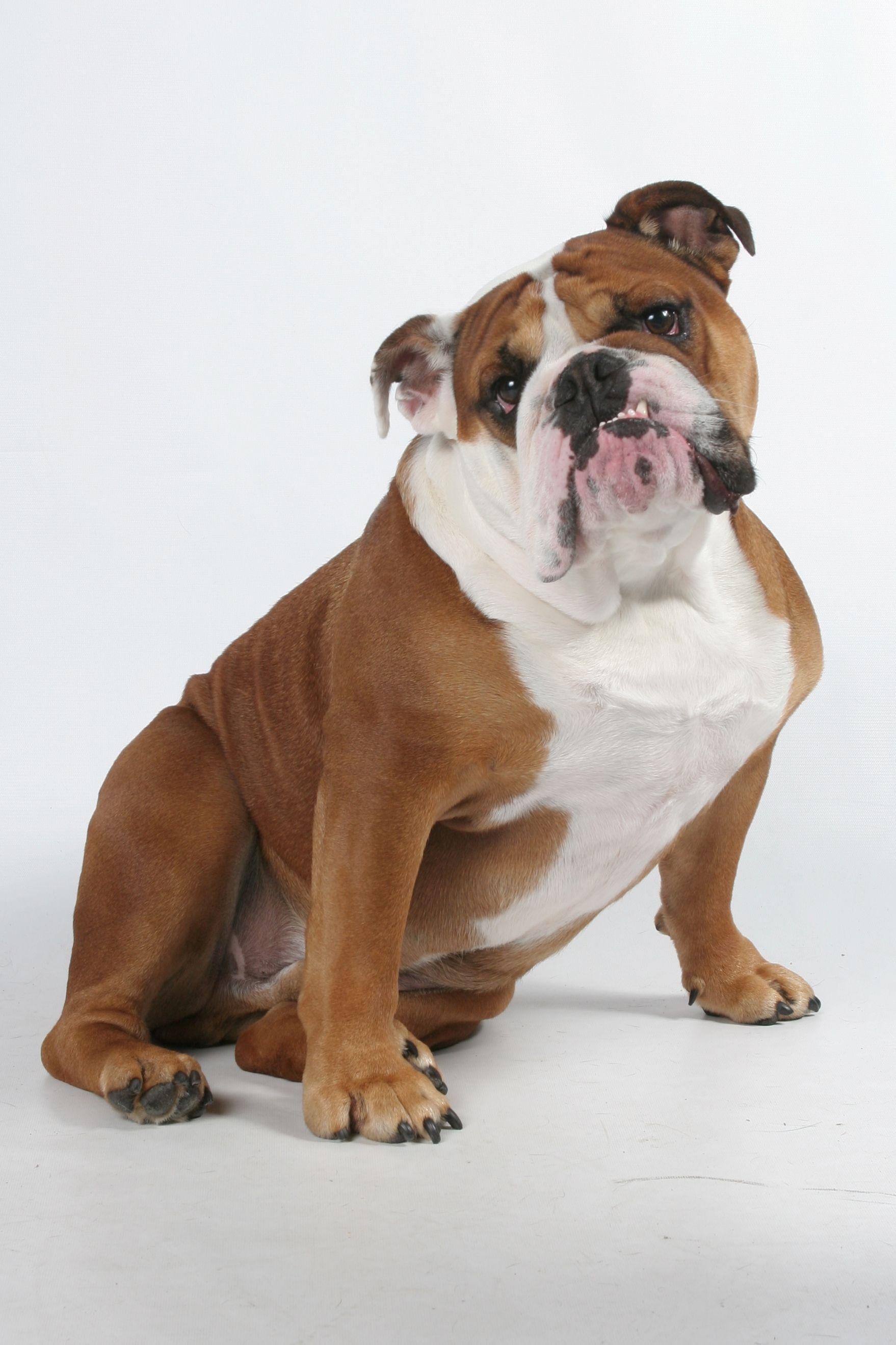 Bob the bulldog :)