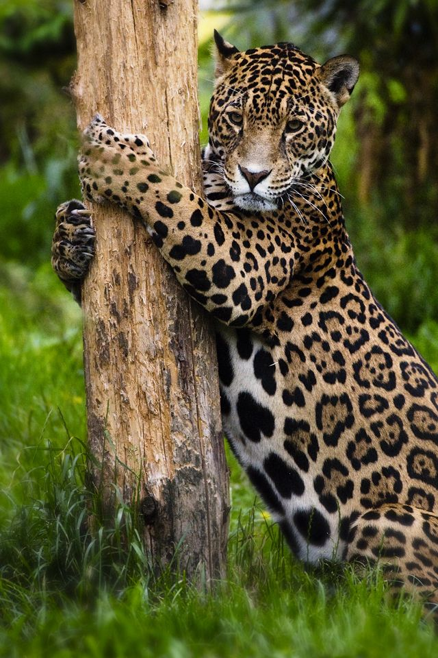 Small Animal Reptiles And Amphibian Habitats: A Jaguar: On His Scratching Post.
