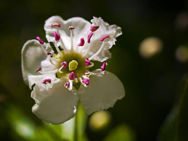 Missouri State Flower Hawthorn Blossom Blossom Flowers Hawthorn
