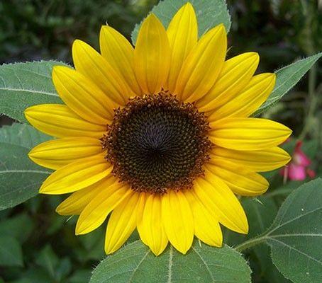 Helianthus Annuus Big Smile Vegetable Seed Flowers Seeds