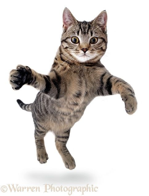 Jumping and grasping cat