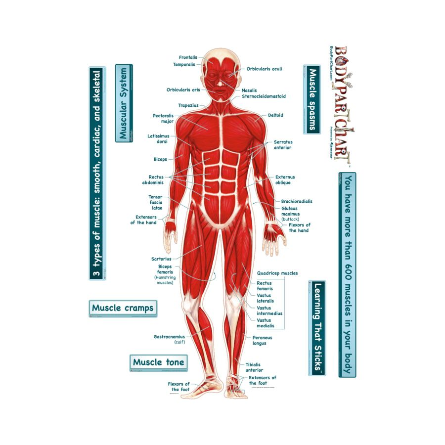 muscle system diagram muscle system diagram simplified muscular system labeled body part chart removable [ 900 x 900 Pixel ]