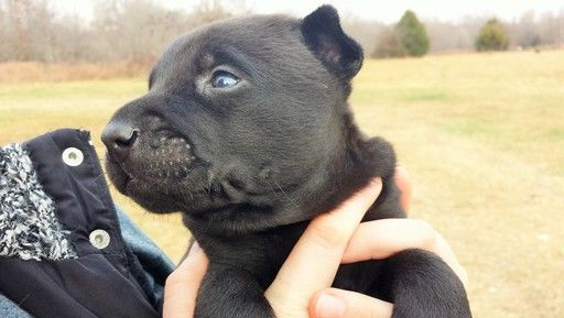 Litter Of 9 Belgian Malinois Puppies For Sale In West Plains Mo