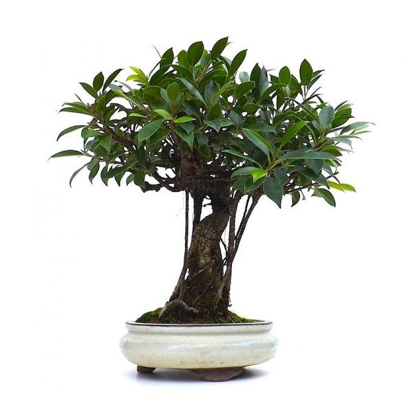 vente de bonsai ficus retusa 40 cm fr140102 sankaly bonsa boutique en ligne vente de bonsa. Black Bedroom Furniture Sets. Home Design Ideas