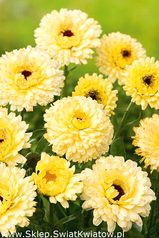 Nagietek Lekarski Cream Beauty Kremowa Pieknosc Sklep Swiat Kwiatow Dostawa Gratis Plants Calendula Herbs