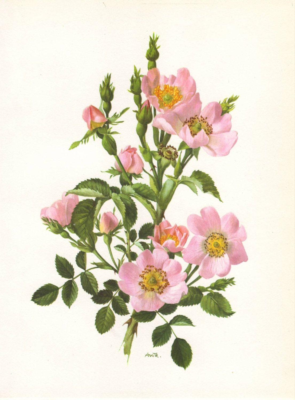 Dog rose original 1960 botanical art print Rosa Canina