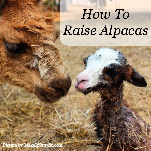 How To Raise Alpacas