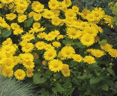 Leopards bane bloom iq plants for my yard pinterest plants flowers mightylinksfo