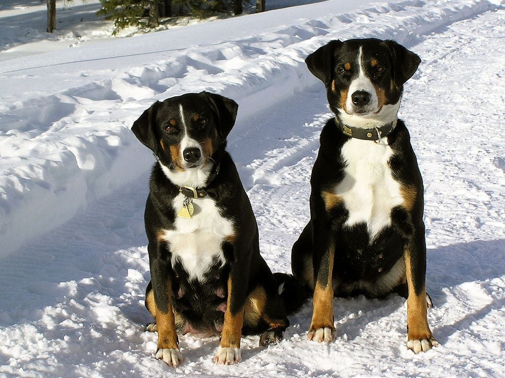 Appenzeller Sennenhund Appenzeller Dog Dogs Animals