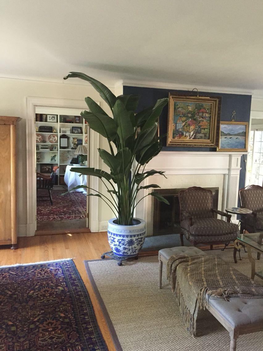 Banana Tree Decor Home Decor Banana Tree #tree #living #room #decor
