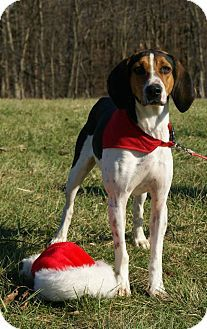 Treeing Walker Couonhound Photo Treeing Walker Coonhound Dog For