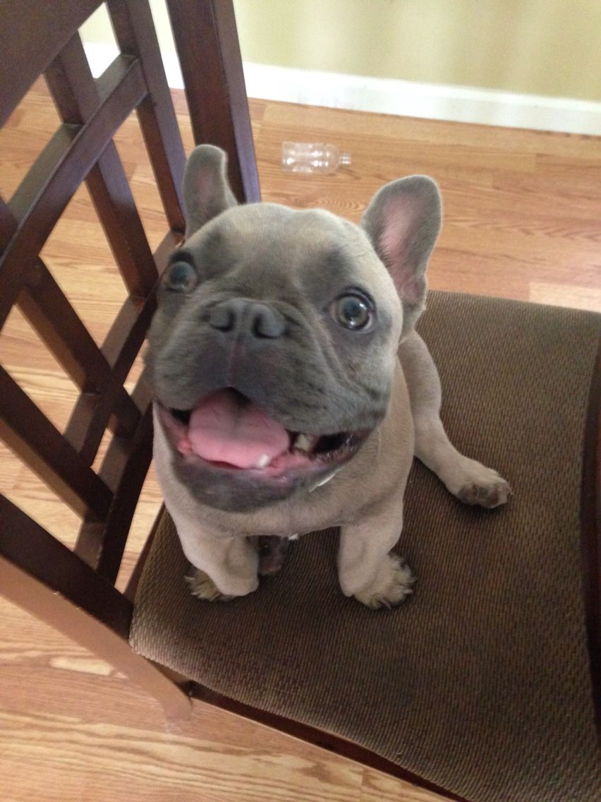 This Is Blue He Is A Blue Fawn French Bulldog Puppy Blue Fawn