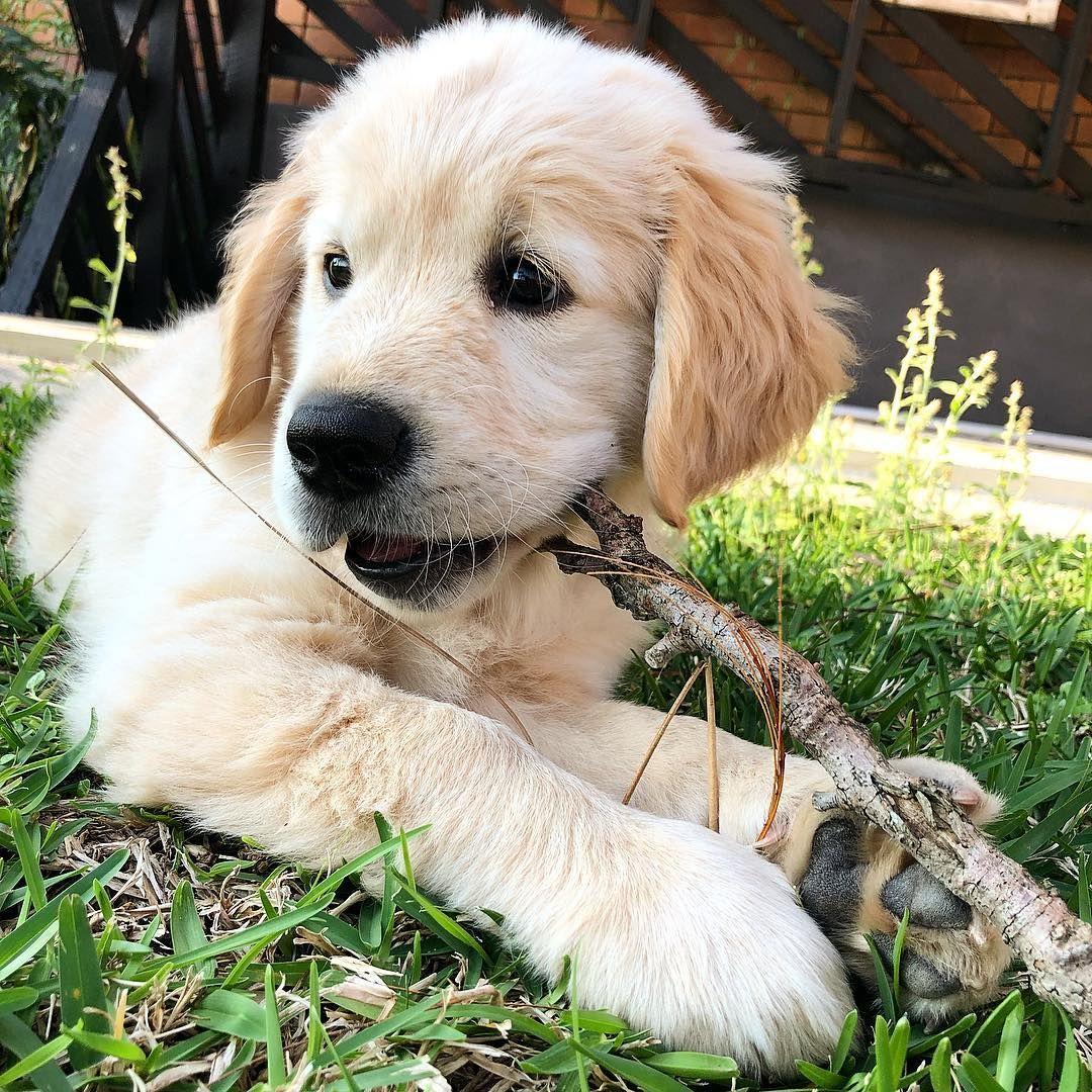 Hampton Golden Retriever Golden Retriever Labrador