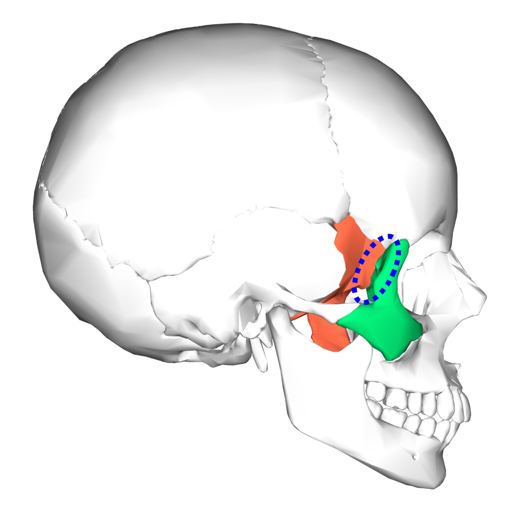there are 22 bones that make up the skull, and the sphenoid (don't, Human Body