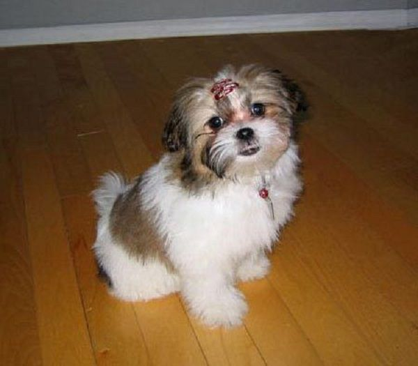 Bichon Shih Tzu Mix Puppies For Sale Zoe Fans Blog Bichon Shih