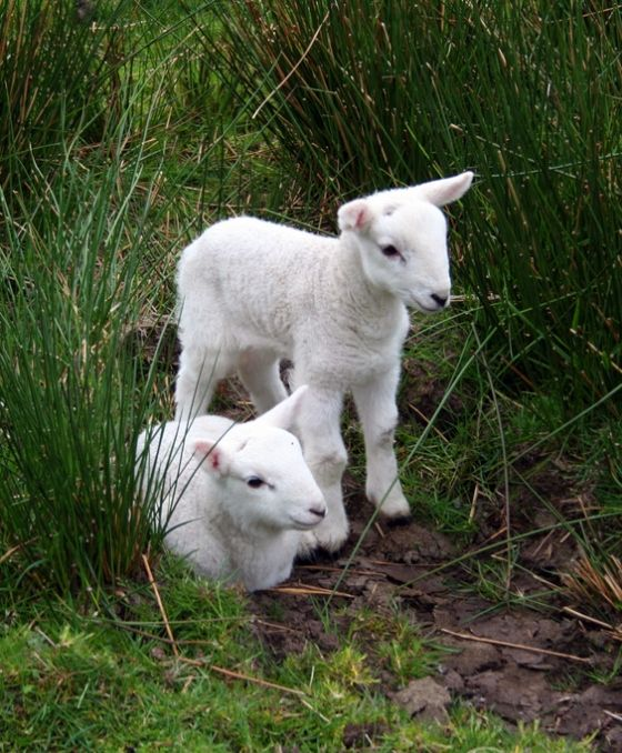 adorable lambs in honor of spring.
