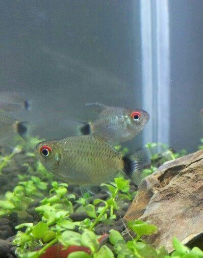 Balloon Red Eye Tetra Tropical Fish Fish Pet Fish Tank