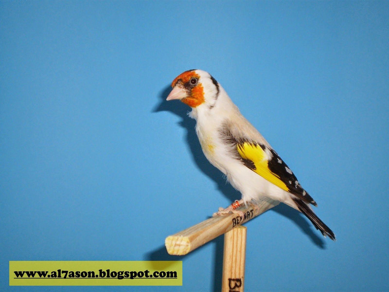 صور لكل أنواع الطفرات عند طائر الحسون In 2020 Animals Bird Parrot