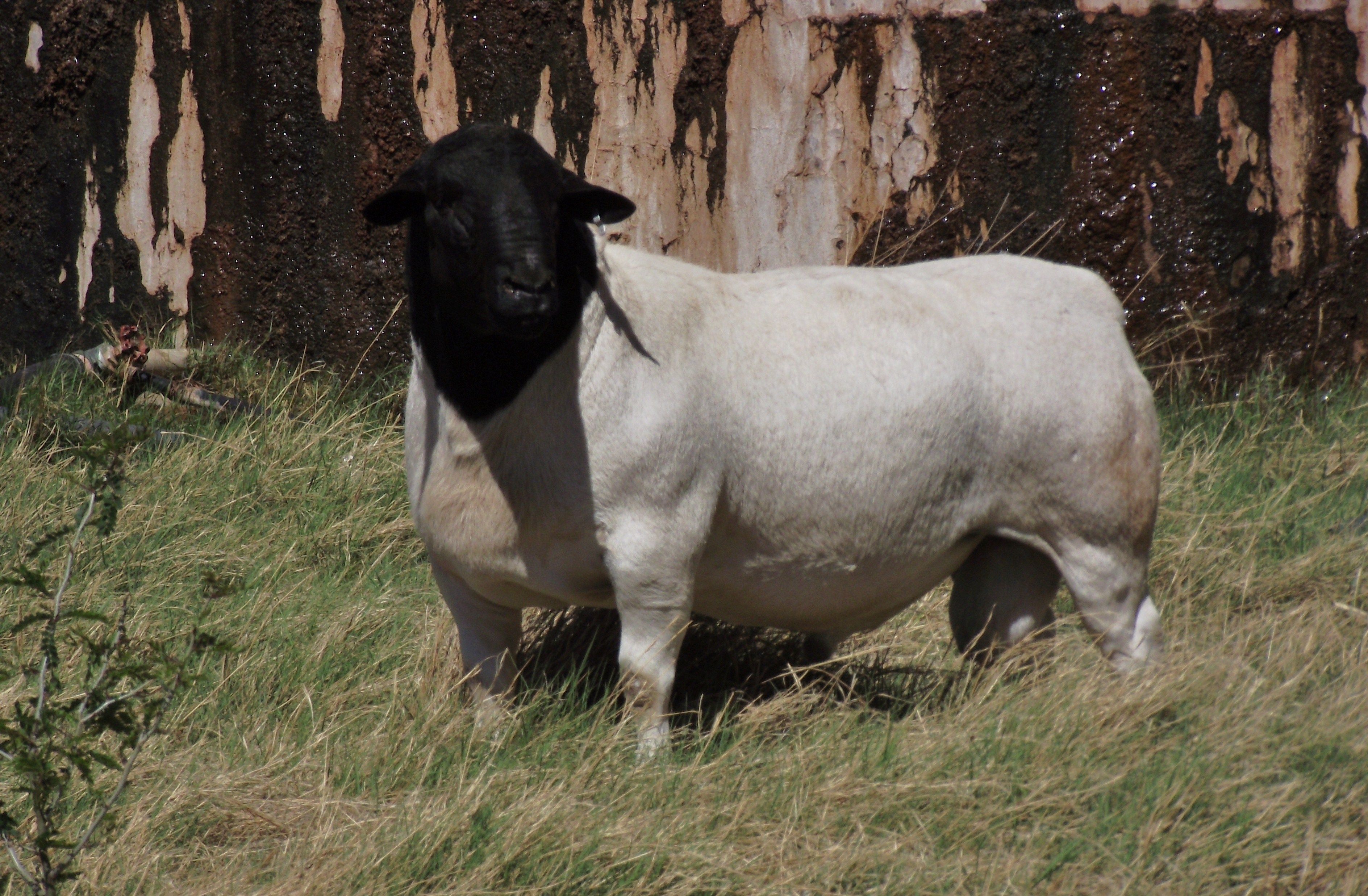 One of our dorper rams