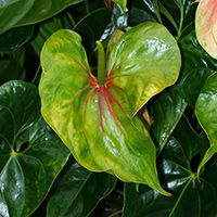 Green Hawaiian Flowers - Anthurium andraeanum – Anthurium