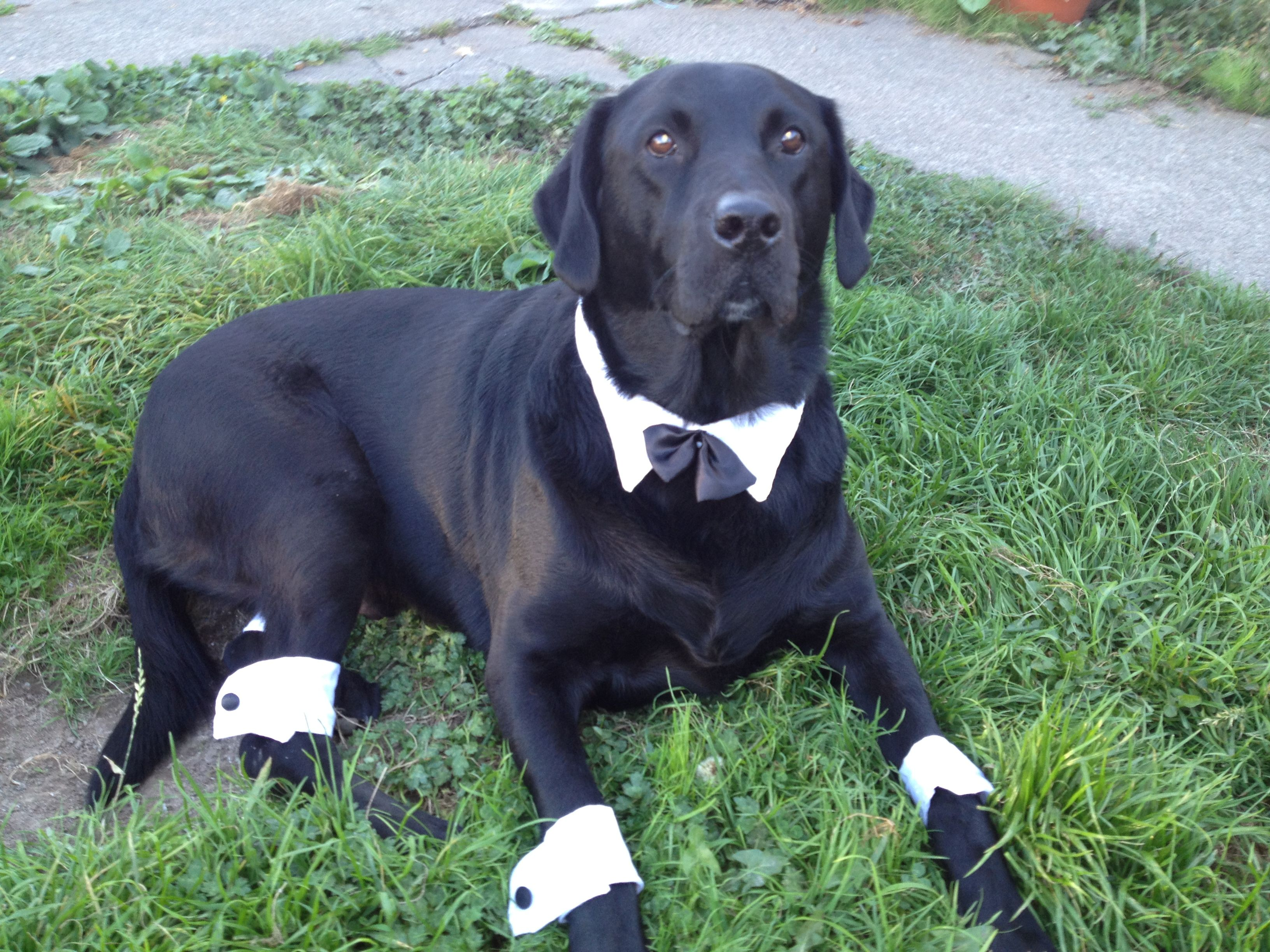 dapper bobber all ready for halloween black lab - Halloween Costumes For Labradors