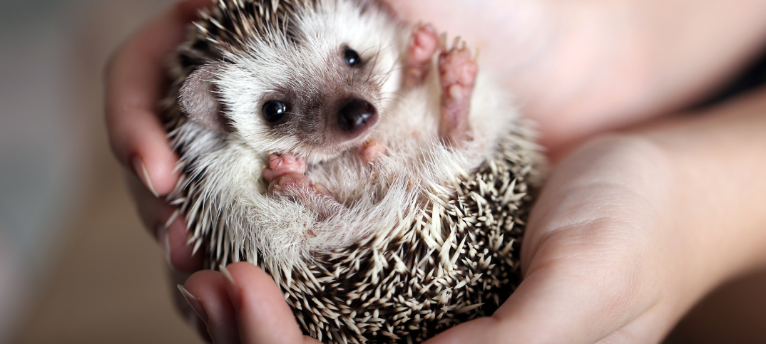 15 Pros And Cons Of Having A Hedgehog As A Pet Green Garage