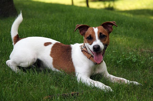 Jack Russell Terrier Breed Profile In 2020 Jack Russell Terrier Puppies Terrier Breeds Jack Russell Terrier