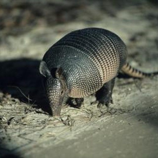 Armadillos can damage your lawn and garden as they dig holes to find food.