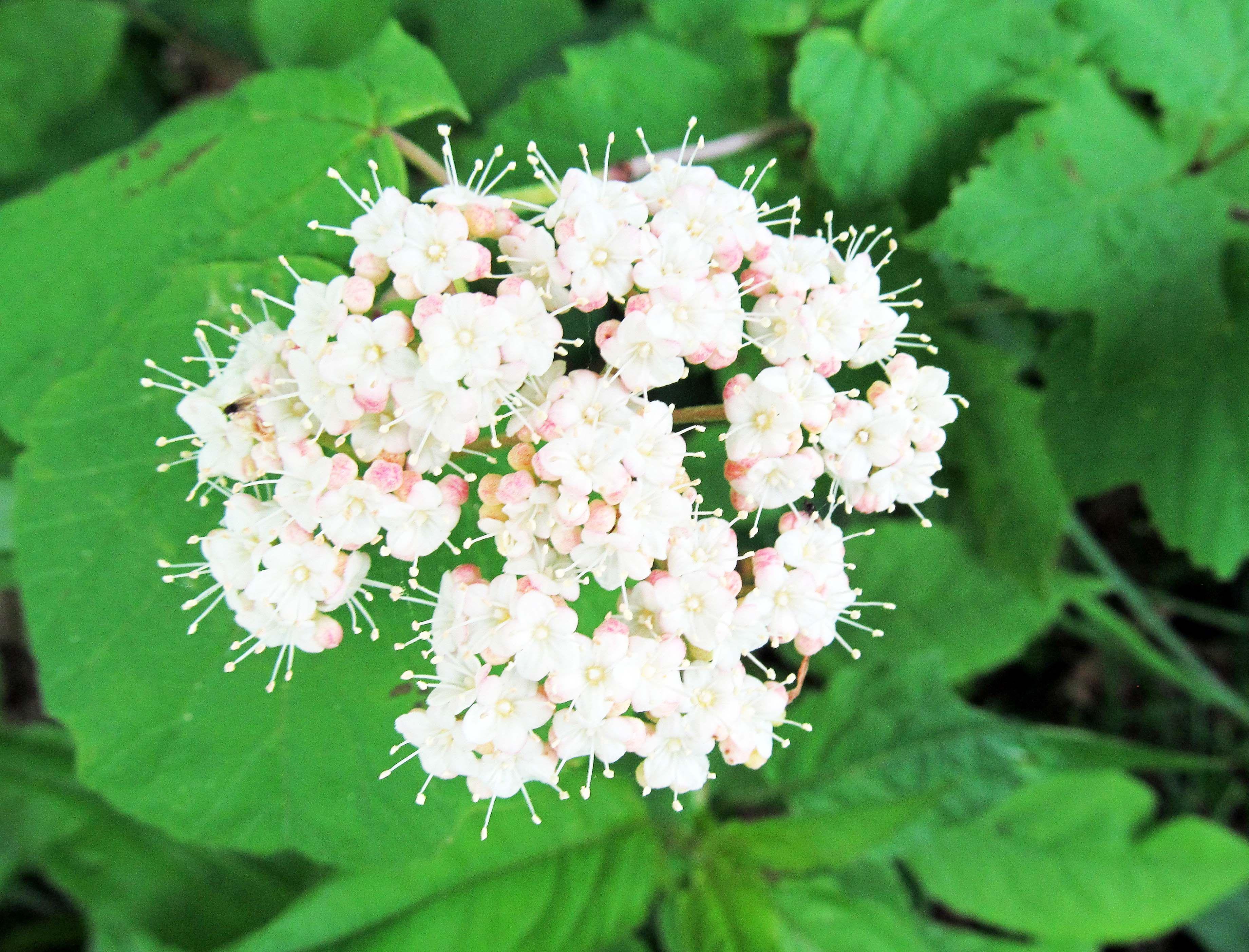 Mapleleaved viburnum viburnum acerifolium
