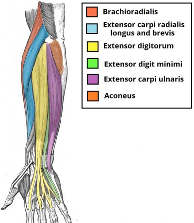 https://legionathletics.com/forearm-workouts/ | Arm Anatomy ...