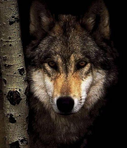 Best 25+ Lone Wolf Ideas On Pinterest