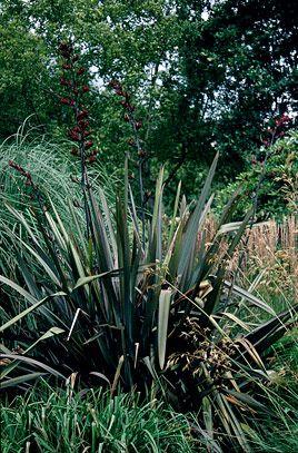 Phormium Tenax Purpureum Group Garden Plants Design New Zealand Flax Trees To Plant