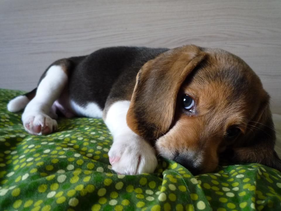 Beagles Are Generally Healthy But Certain Health Problems Can